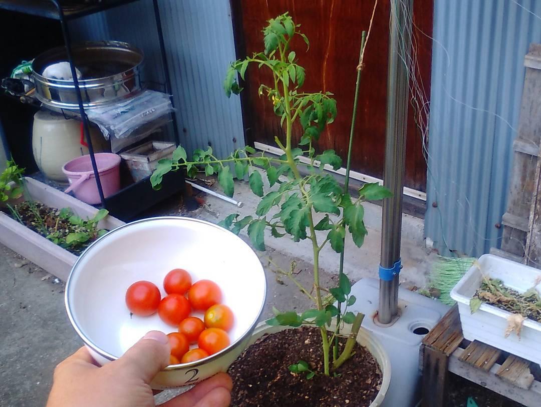 トマトの脇芽について 活用方法