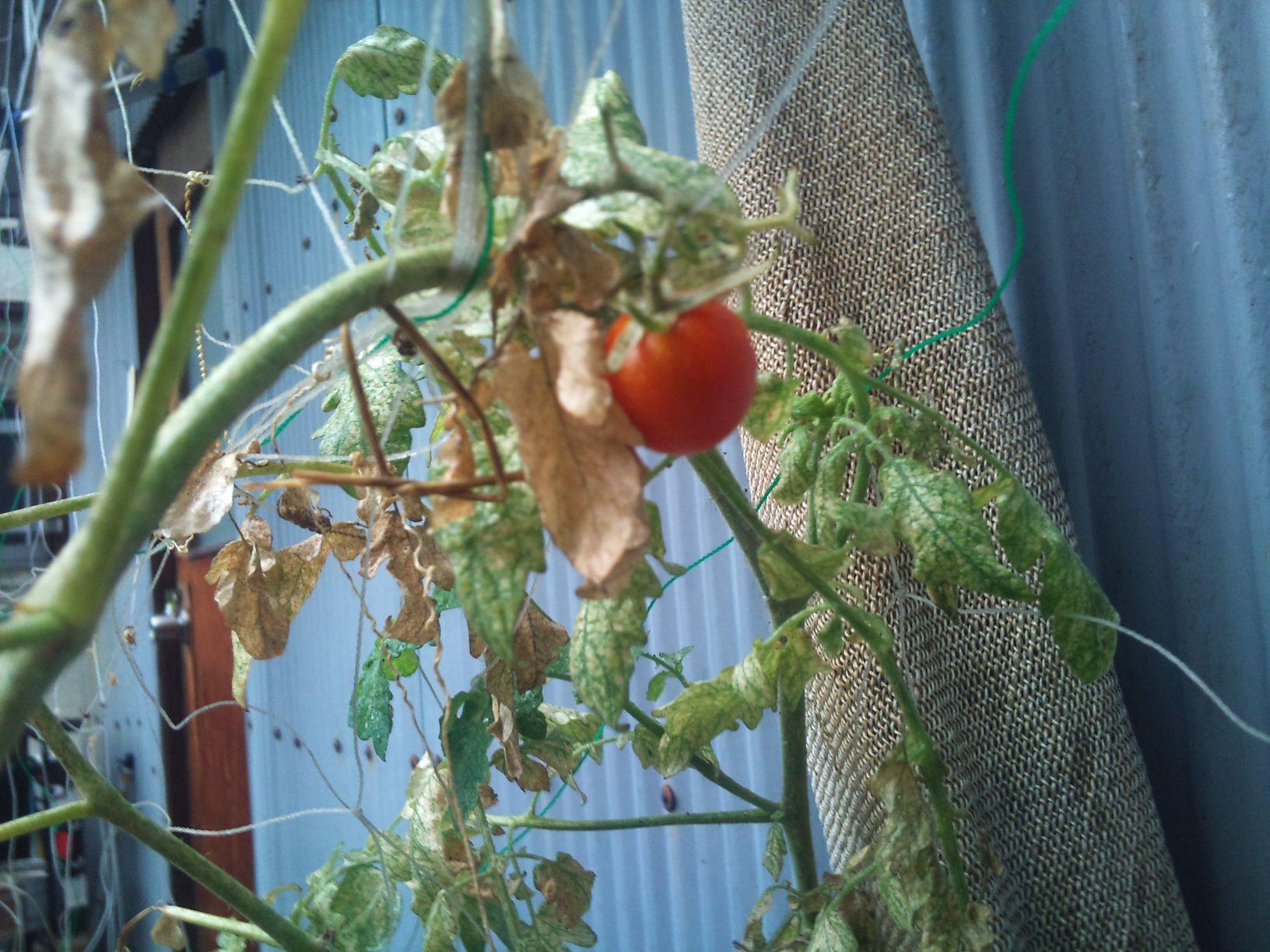 秋トマトが赤くなりました!