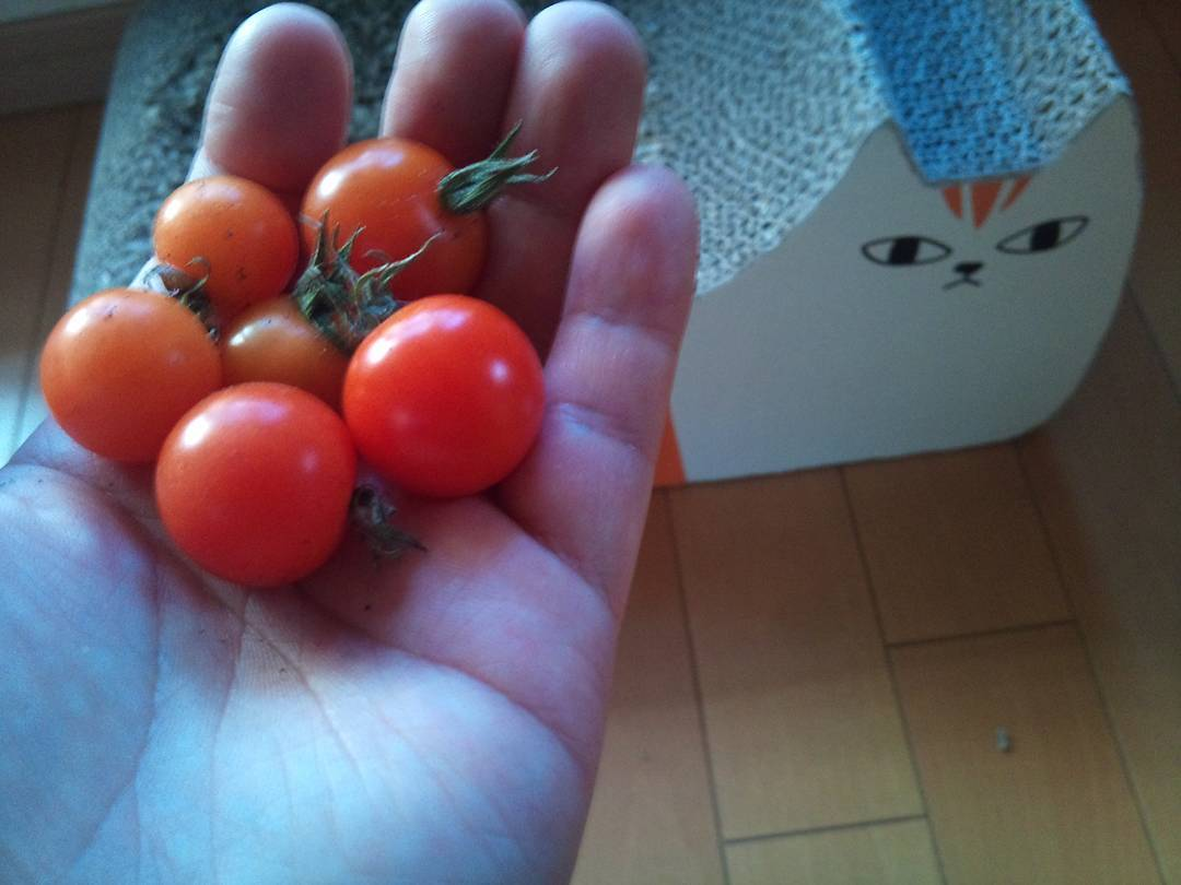 冬にトマトを収穫 トマトの適温は?