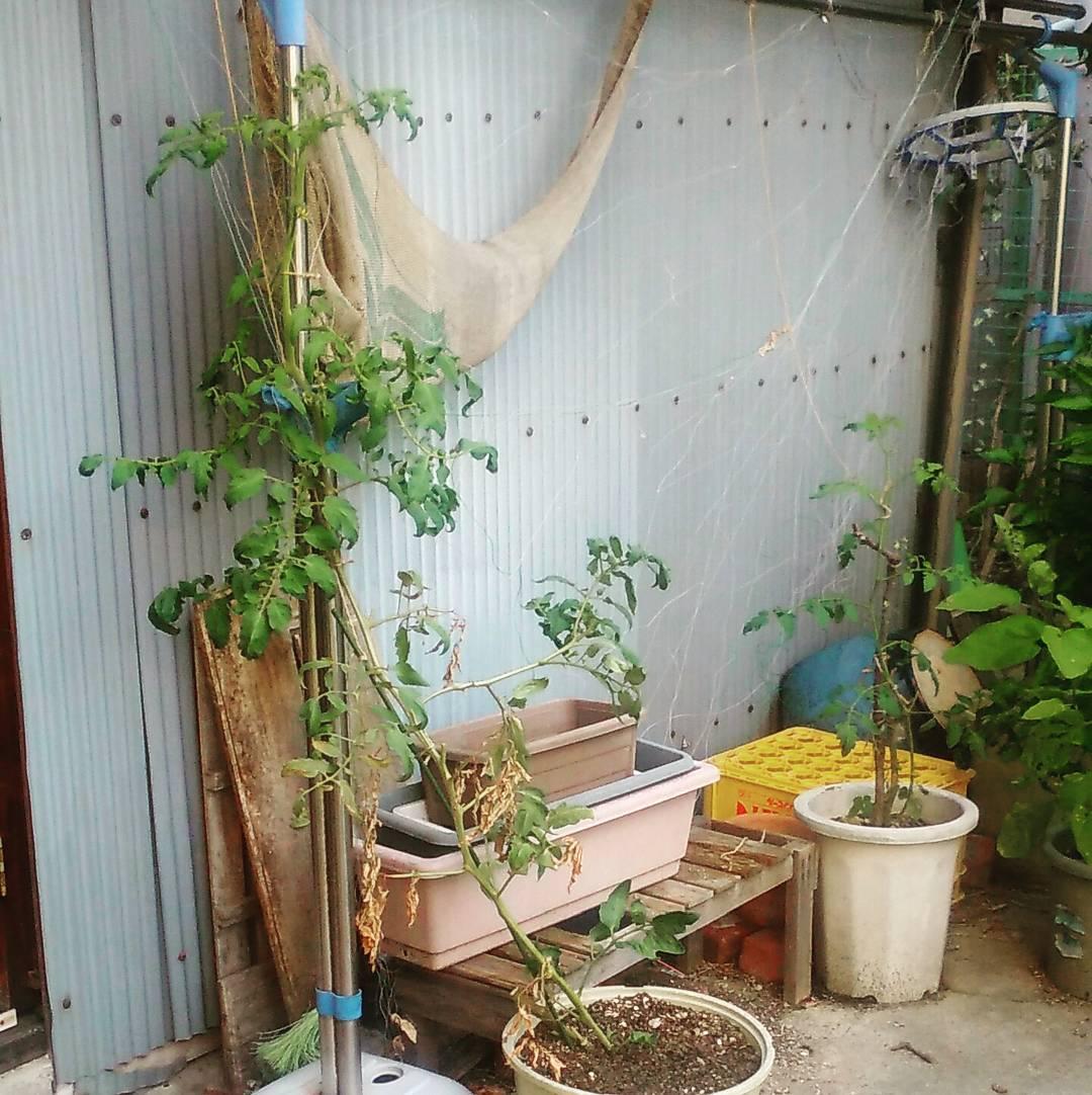 トマト栽培の天敵、連作障害について