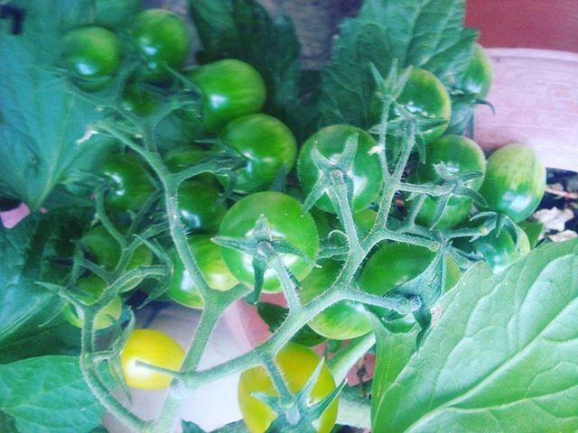 イエロートマトも順調に成長。明日ぐらいには収穫できるかな?? #家庭菜園 #トマト