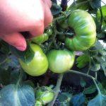 大玉トマトはこんな感じです。どんどん大きくなりますが、色がつくまではもう少しかかりそうです。来週には追肥をあげよう