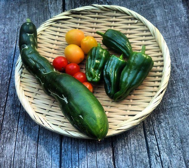 今日は豊作です(*´∀`) なんかマッチョなキュウリが採れました。ムッキー( ̄ー ̄)ニヤリ#家庭菜園 #トマト