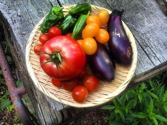 今日は野菜が豊作です。これだけ採れれば野菜もしばらく買わなくて済みそうです。ありがたや日当たりがいい場所のミニトマトはミディトマトぐらいの大きさになっていますが、やはり太陽光は大切ですね。#家庭菜園 #トマト