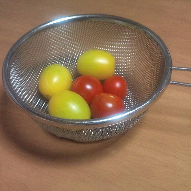 イエローとプチトマトを収穫しましたそろそろ大玉にも来てほしいところです。#トマト #プチトマト