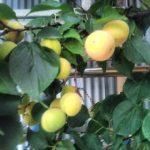 オマケ果物ならぬ、梅の実です。