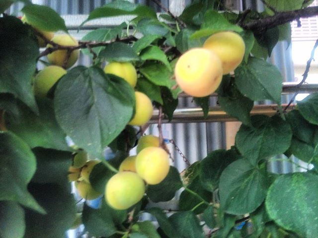 オマケ果物ならぬ、梅の実です。今年もどんどん大きくなりますが、重過ぎて落ちるものもあります。実にモッタイナイ。