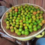 梅の実を収穫しました。(奥さんが)これから大量の梅干しを作ります(*´∀`) ありがとう、お義父さん。おかげさまで毎年収穫できていますよ