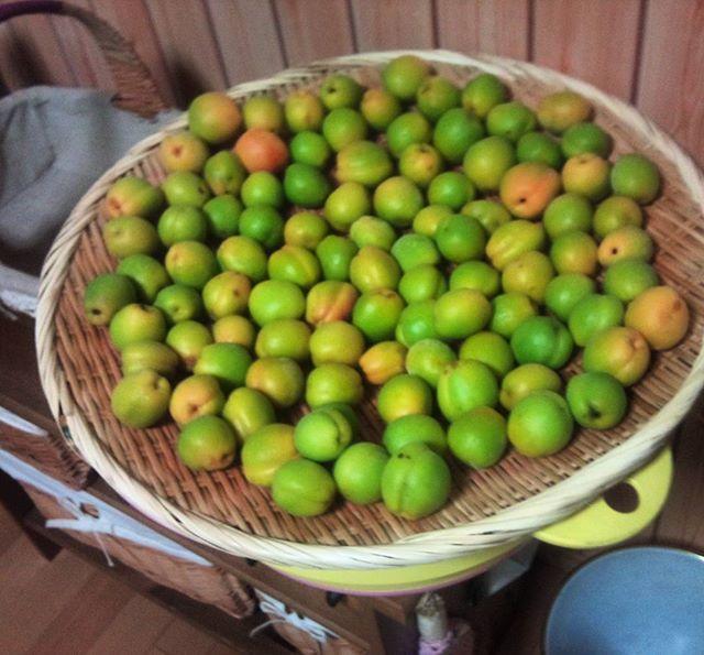 梅の実を収穫しました。(奥さんが)これから大量の梅干しを作ります(*´∀`) ありがとう、お義父さん。おかげさまで毎年収穫できていますよ#家庭菜園 #梅の実