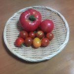 遂に来ました大玉トマト