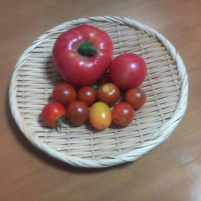 遂に来ました大玉トマト明日にはまたまた採れそうです。本格的に暑くなる前に沢山とれるといいな😗#家庭菜園 #トマト #プチトマト