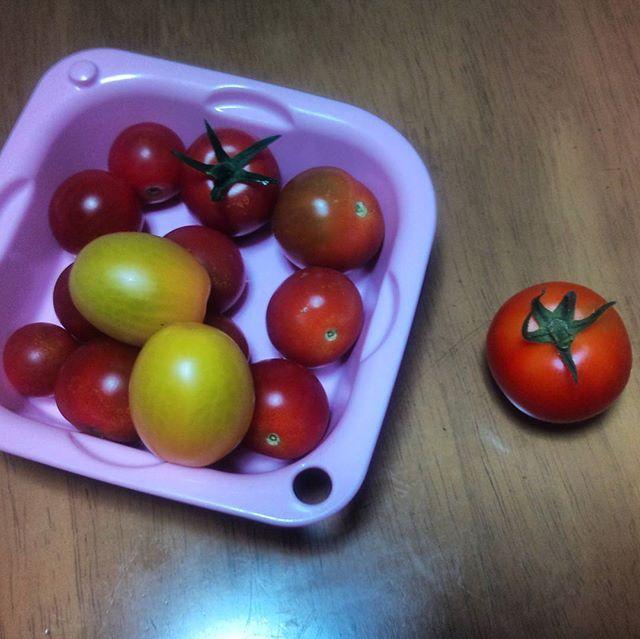 ミディトマトが収穫できました〜でもプチトマトが巨大なので実にわかりにくいです。甘みが豊かで美味かったです!#家庭菜園 #トマト