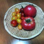 連日トマトの収穫が続きます(•ө•)♡