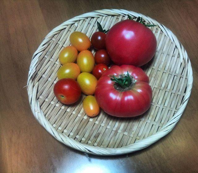 連日トマトの収穫が続きます(•ө•)♡嬉しい反面で早々に収穫終了にならないか少し心配。果肉がびっしりで美味しいです#トマト #プチトマト #家庭菜園