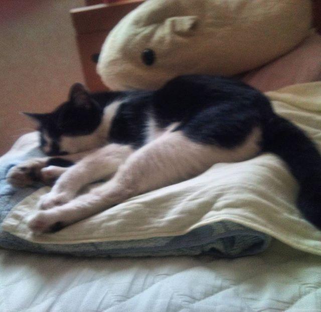 もぐさんは今日もゴローン。暑いせいか普段以上に伸びております(•ө•)♡たまに動いたと思ったら場所を変えてまたゴロリ。#猫 #部長猫