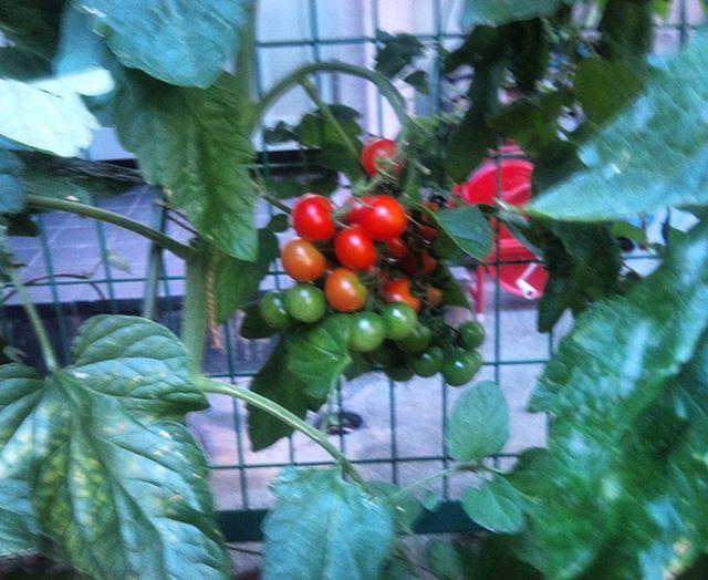 もうすぐ収穫出来そうなプチトマトです。鈴なりについていて一気に採れそうですが、反動が怖いかも、、