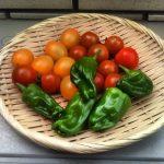 本日の収穫、アイコイエロー、プチトマト、ピーマンにフルーツトマト