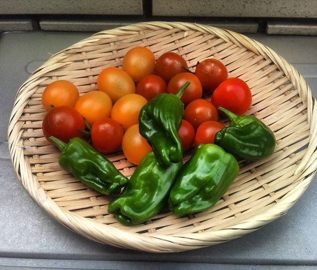 本日の収穫、アイコイエロー、プチトマト、ピーマンにフルーツトマトです。フルーツトマトは多分右上のあかいやつかな?大きさがプチトマトに似ているのでわかりにくいですが、味はとても甘くおいしいのです(^^)