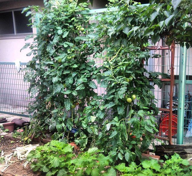 ジャングルのようになってきた我が家の大玉トマトです。足元にあるのは紫蘇の葉ですね、我が家の食料チームです。#家庭菜園