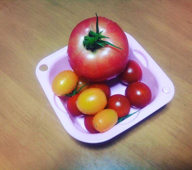 嵐の後ですが、野菜は順調に成長。今日もトマトの収穫です。大玉もまだとれそうなので今度の週末あたりにはピザでもつくろうかな(^_^)#家庭菜園 #トマト
