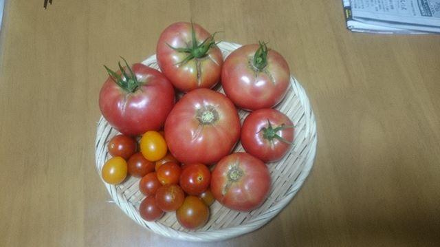 本日も大玉トマトが豊作です。これだけあればしばらくトマトには困ることもなさそうです。(^^)まだまだ取れそうでこれからが楽しみです。#家庭菜園 #トマト #tomato