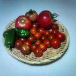 本日もトマトを順調に収穫