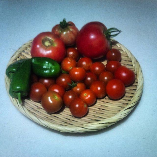 今日もトマトを結構収穫することが出来ました。予定通り大玉トマトも採れたのでこれで今日はピザを作ってみましょうかね(^^)vコンポストも箱の外から触っても熱いくらいになっており、順調です#家庭菜園 #トマト