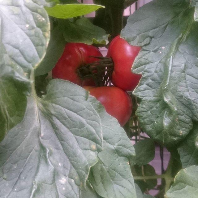 続々と赤くなっていく大玉トマト。これは7月中に収穫全て終わってしまうかも、、( ´∀`)