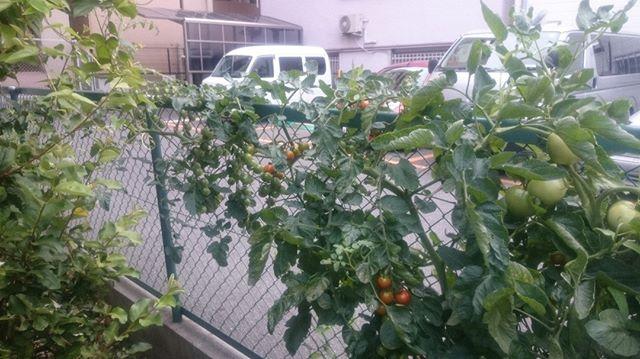 こちらは滴芯せずに伸ばしているプチトマト。肥料と陽当りのおかげかどんどん大きくなります。実も大量についているけど、どこまで大きくなるかな?トマトは環境さえ整えば無限に成長を続けるらしいです。日本では四季があるので、そういうわけにもいきませんが。#家庭菜園 #トマト