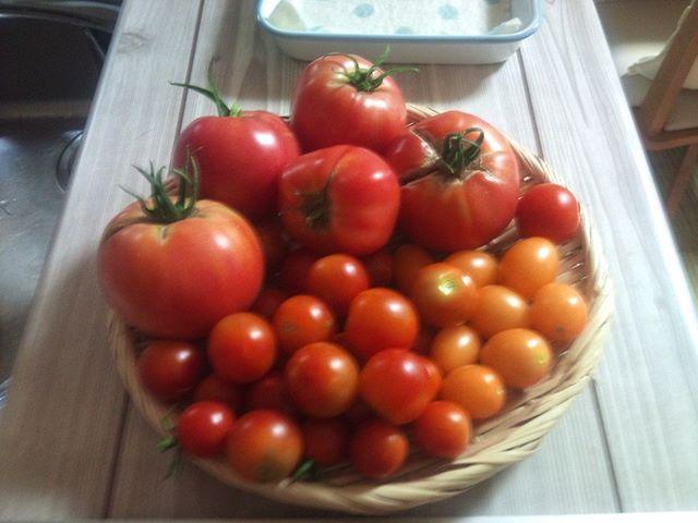 怒涛の大玉トマトラッシュです。赤くなりかけのものも幾つも残っていますのでまだまだ収穫できそうですよ(^^) この勢いで夏の暑さを乗り切ってもらいたいです#家庭菜園 #トマト #プチトマト #tomato