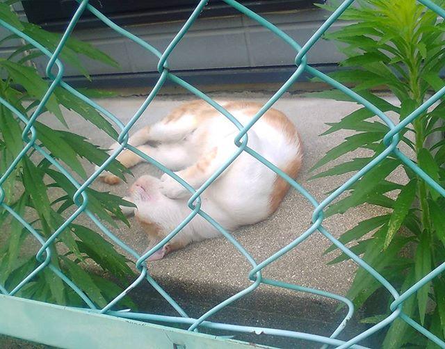 オマケ。道中で見かけた猫くんです。暑いのに気持ち良さそうに寝てるなあ