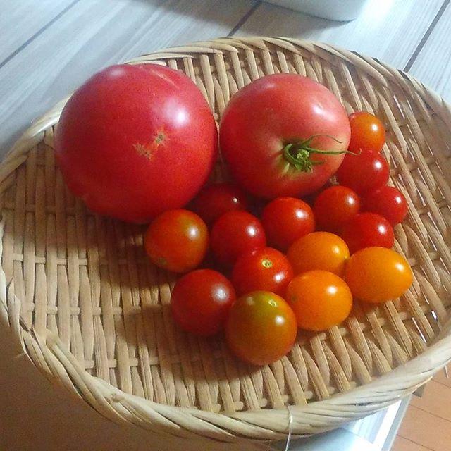 本日の収穫、大玉トマトが採れましたが少し割れています。雨よけをしていないから仕方ないですね。その分新鮮で甘いのでよしとしましょう(*´∀`)#家庭菜園 #トマト #tomato