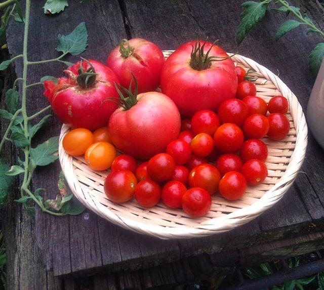 本日の収穫です。雨のおかげかずいぶん赤く熟して美味しそうになりました。ところで昨日悲しい事件が。完熟大玉トマトを2個カラスに突かれたようです。憎たらしい! 初めての事態ですが、これからは気をつけねば。#家庭菜園 #トマト