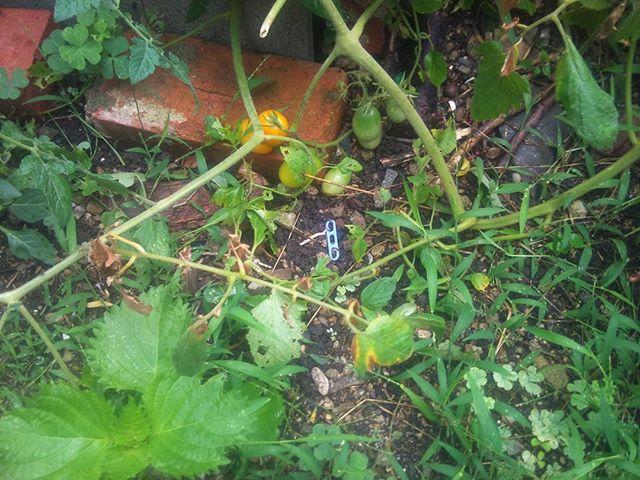 地面に差しておいた、雑な扱いをしていた脇芽に実がつきました。イエロートマトだったみたいです。特に手をかけていないので、地面を這うように横に大きくなっていきます。