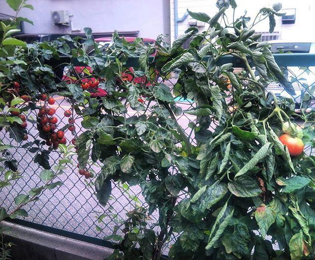 先日カラスにトマトを襲われたらしい駐車場のとなりのトマトです。今度はカラスが襲撃する前にとらないとなぁ