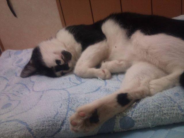モグ氏は今日もタオルケットですやすや。セミの声が凄いですが、モグがいる場所は風通しもよく涼しい。#猫 #cat