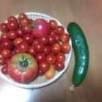 今日はプチトマトを中心になかなか豊作です。