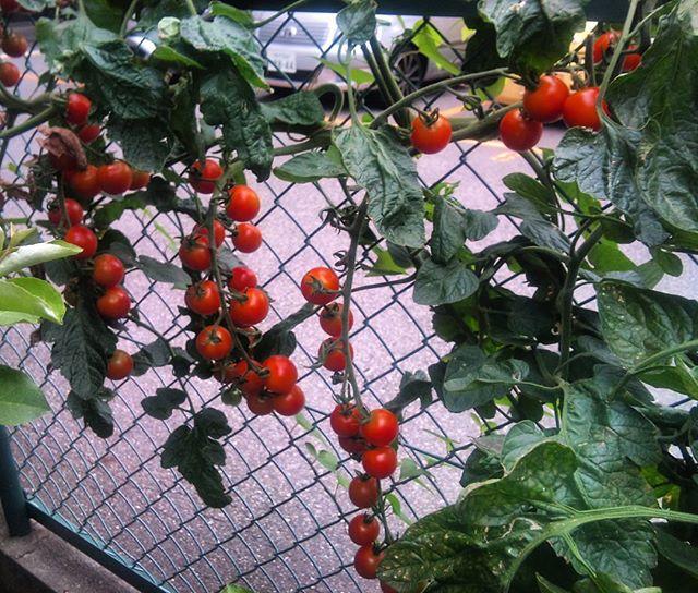 プチトマトもだんだんと赤くなってきました。これは伸ばし放題の苗ですがまだまだ収穫できそうです#家庭菜園 #プチトマト