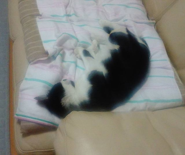 再びソファーがお気に入りになったモグ氏。僕は追い出されました。しかしギリギリで寝るの好きやなあ、、いつか落ちそうだ#猫 #cat #ギリギリでいつも生きていたい?