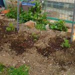 トマトの苗を購入し、家庭菜園再開です!