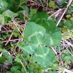 四つ葉のクローバーの穴場を発見