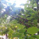 梅の実は順調に成長