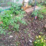 トマトの木は少しずつ大きくなっています