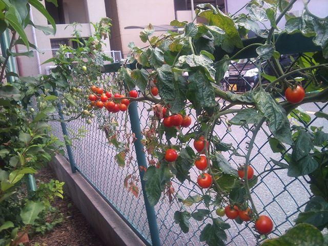 駐車場の隣に面している場所に植えているプチトマトがどんどん大きくなります。本当は摘心といって頂点の部分を取るほうがいいのでしょうが、苗の内いくつかはそのまま成長させるのでこんなことになります。結構鈴なりについてくれているので収穫を楽しみにしています。栄養をたっぷり必要とするはずなので株元には肥料と大量の緑マルチ、それとダンゴムシ&ワラジムシが大量にいます。なんとか8月の猛暑を乗り越えてくれるかな??#家庭菜園 #プチトマト