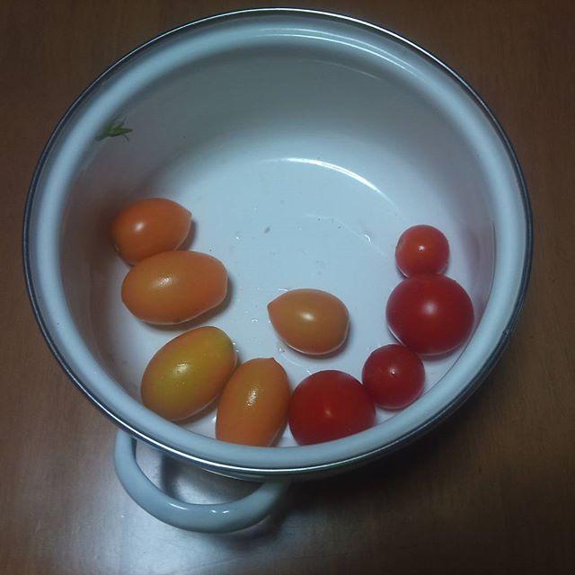 本日の収穫、プチトマトが中心です。ジャングルのようになってきたトマトから収穫です。お世話していない脇芽苗ですが、ここにきて収穫できるようになってきました。神戸は本日台風上陸。被害の無いことを祈ります。#家庭菜園 #トマト