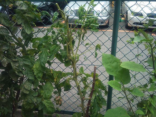 ひと通り収穫が終わったトマトの木を脇芽を一つ残して全体的にカットしました。茎だけが残っているような状態で見た目は寂しいですが、これで脇芽がまた成長してくれるといいのですけが。プチトマトはまだ元気ですが、猛暑が続いているせいか全体的に少し勢いがありません。なんとか8月の猛暑を乗り切ってくれればいいんですけどね。#家庭菜園 #トマト