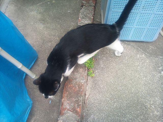 家の裏で散歩中のモグさんに遭遇。なんか気まずくなったのか慌てて移動して売るモグさん#猫 #cat