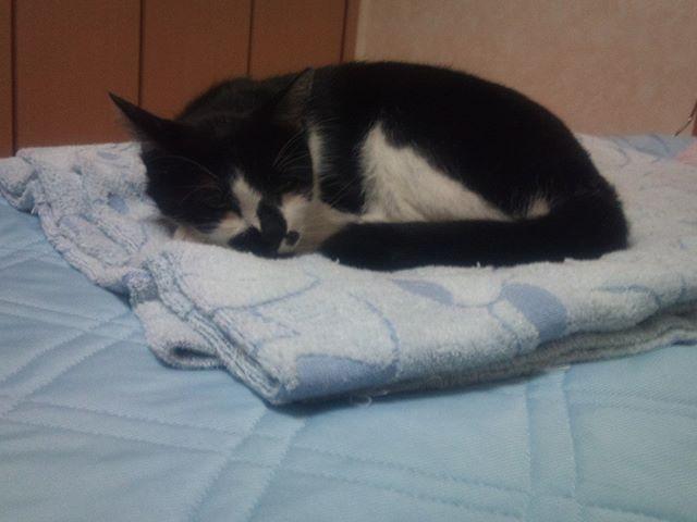 穏やかな表情で眠るモグさん。今日から1日お留守番になることを彼は知りません。今日から奥さんと一緒に一泊で旅行へ行きます。モグさん、お義母さんと仲良く待っているのだよ。#猫 #cat