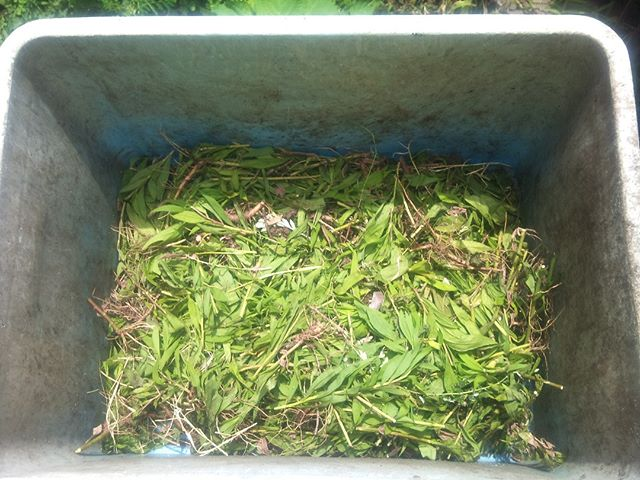 ウォーキングに行った目的の一つがこれです。畑の雑草マルチに使う草が不足していたので補充してきました。ちょうど雑草を除去するために抜いている人がいたのでわけてもらうことに。ある程度細かく切ったので、一部は畑に入れて緑マルチに残りはコンポストへ投入し肥料になってもらうことにします。雑草マルチで定期的に抜いていると意外とマルチングに使う雑草が不足してきます。#家庭菜園 #雑草マルチ #自家製堆肥