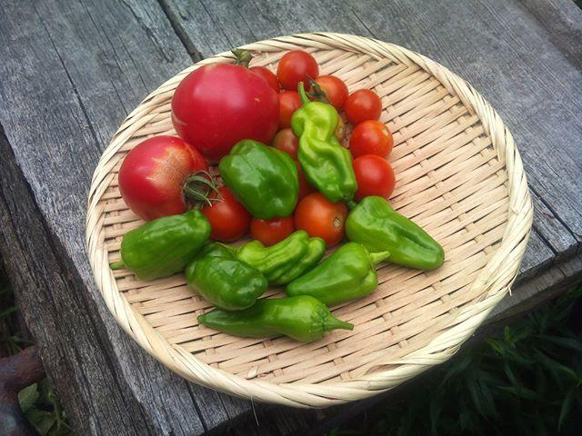 大玉トマトを中心に収穫が終わりました。7月の勢いは終わりましたが、まだもう少しは収穫出来そうですね。お盆ということで親戚が家に来られていますので、今日のお昼はピザを作ることにします。#トマト #家庭菜園